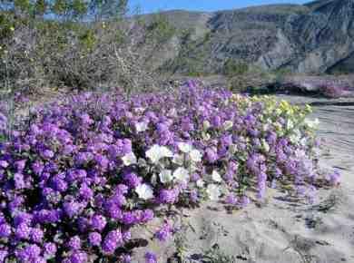 Wildflowers Anza Borrego