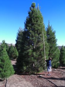 Christmas Tree Farm San Diego California