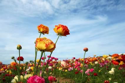 Flower Fields Carlsbad