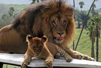 Lions at San Diego Wildlife park